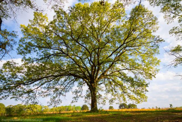 southern oak tree louisiana - Chris Balboni