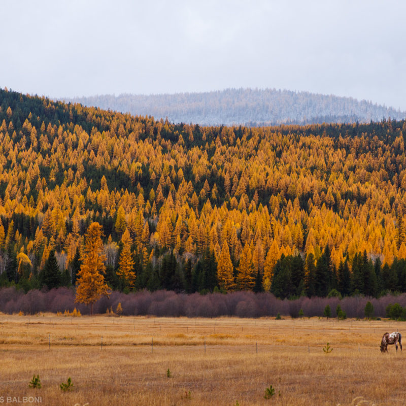Horse and Larch
